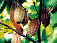 The fruits of the cocoa tree - the cocoa pods.